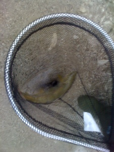 Marmorata 30 cm - Resia Agosto 2013