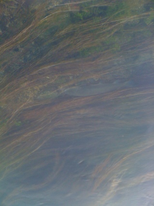 Marmorata 50cm ~ (appena riossigenata e liberata) , Torsa, Aprile 2014