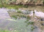 Fiume Torsa, Torsa di Pocenia a valle delle peschiere, Giugno 2014
